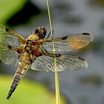 Patrick O'Meara - Four-Spotted Chaser