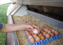 Collecting eggs on an organic farm