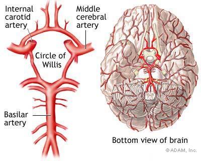 Understanding the Brain - Brain Aneurysm Foundation
