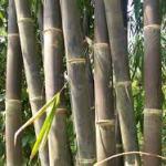 Alternative Mengatasi Kutu Bubuk: Manakah Metode yang Paling Tepat? : Bambu