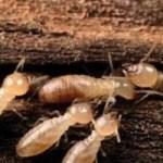 Mencegah Rayap pada Kayu Akasia untuk Kusen dengan BioCide Insecticide : Rayap 1