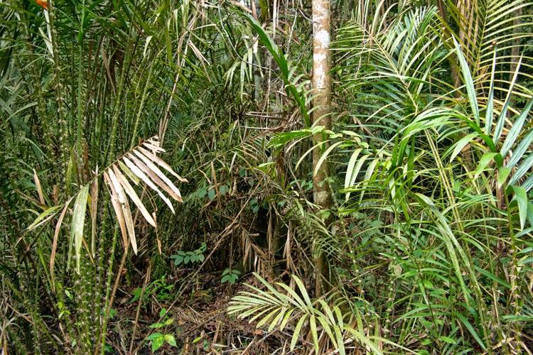 Mengawetkan Rotan dari Blue Stain Menggunakan BioCide Wood Fungicide : Hutan Rotan