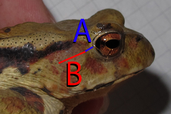 ニホンヒキガエルの画像 p1_10