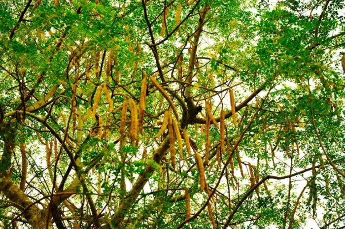 Moringa Tree and Seed Pods