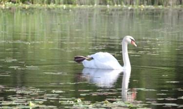 white swan on lake