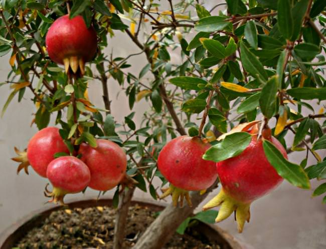 growing pomegranates in containers_mini