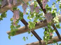 19 Best Pergola Plants | Climbing Plants for Pergolas and ...