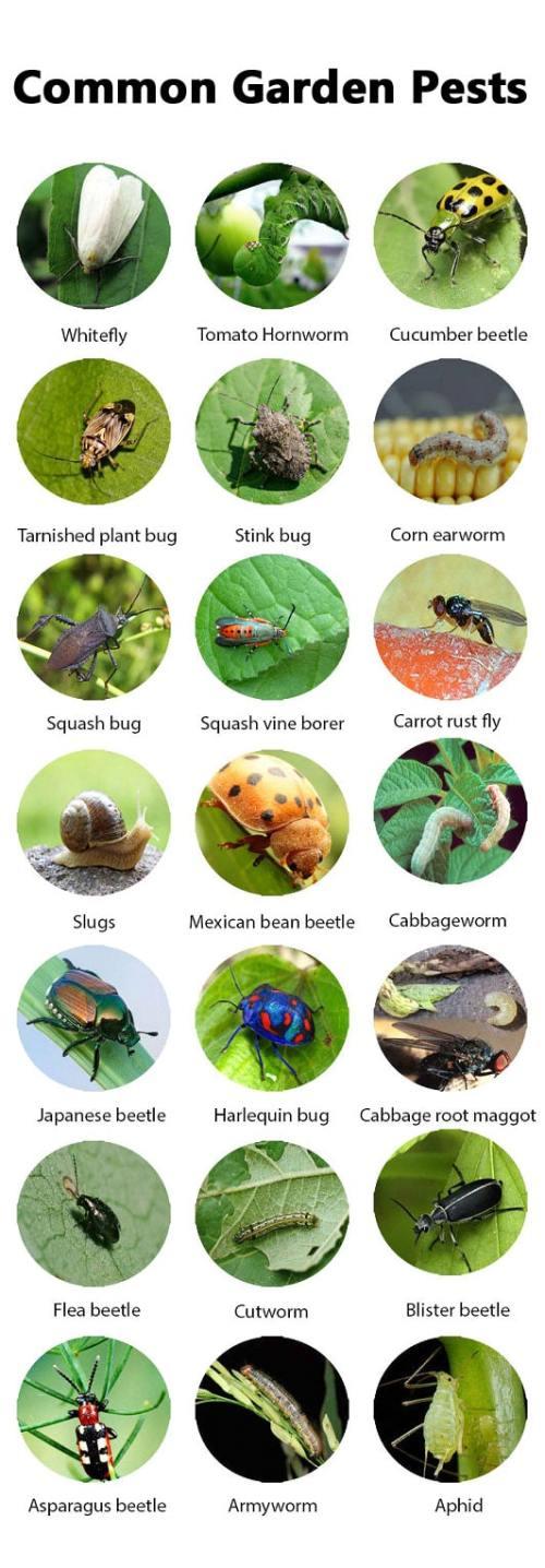 Medium Of Sage Pest Control