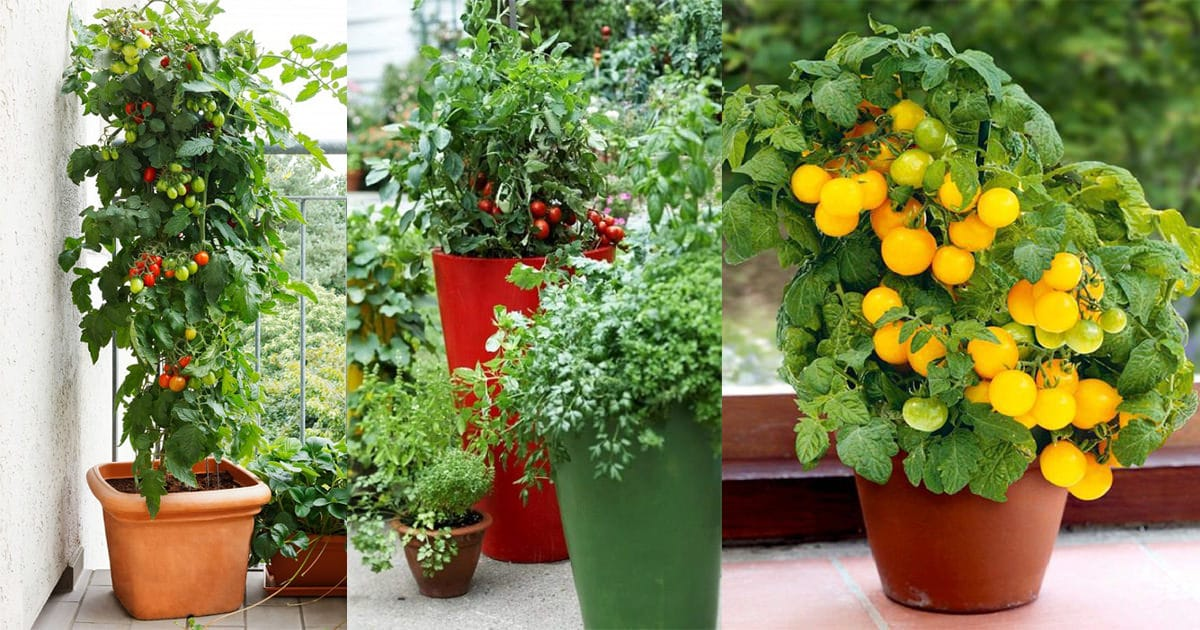 What Size Container To Grow Cherry Tomatoes