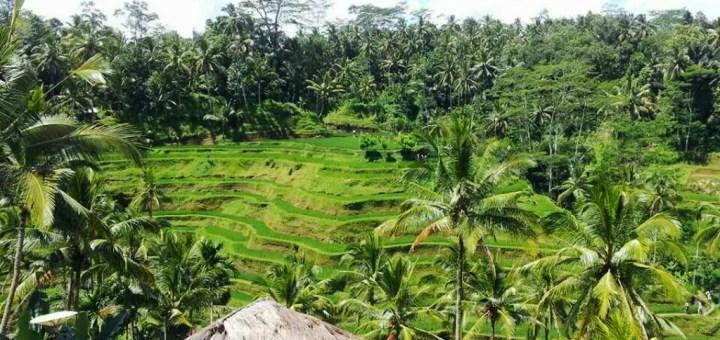 Rizières balinaises - Elo à Bali - 201405 - Interview Balisolo