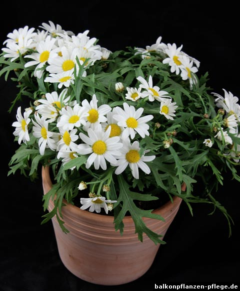 Deko Chrysanthemen Winterhart Argyranthemum Frutescens