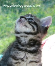 tabby kitten looking up illustrating a children's stories site about the magical world of Ballyyahoo