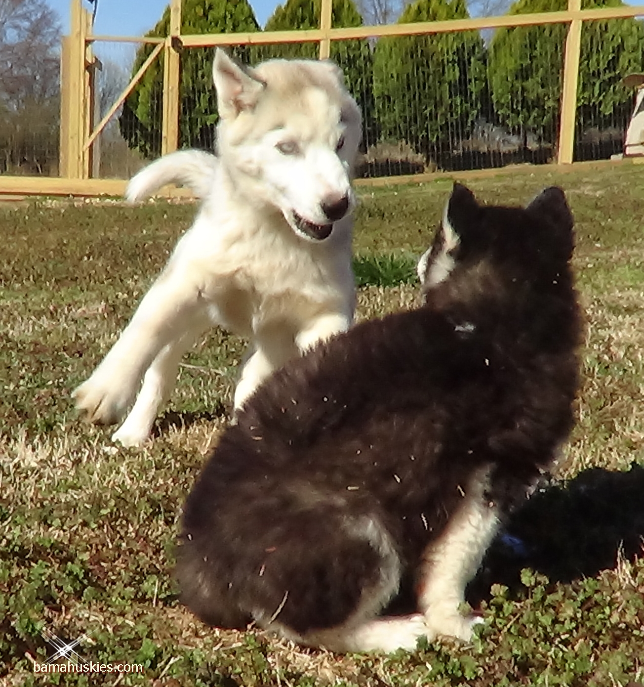 Husky Price How Much Do Husky Puppies Cost Siberian Husky Puppies For Sale
