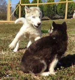 Small Of Husky Pug Mix