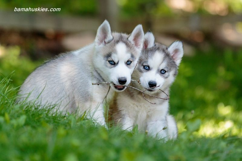 Large Of Cute Husky Puppy
