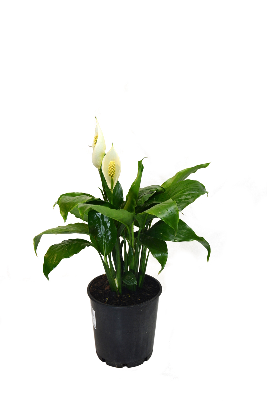 Spathiphyllum Wallisii Spathiphyllum Wallisii Peace Lily