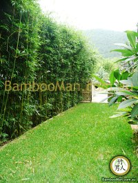 Bamboo Plants For Hedging & Fence Screening