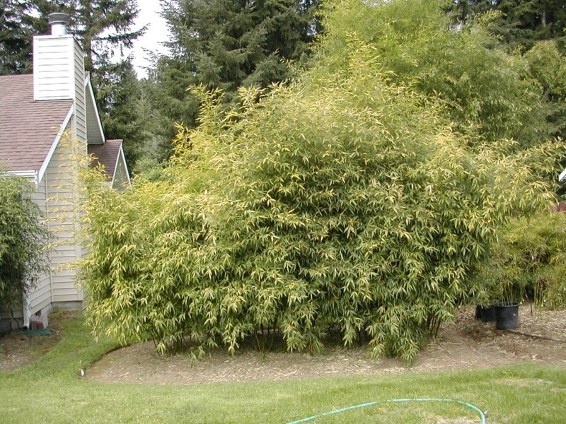 Large Of How To Transplant Bamboo