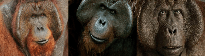 "Orangután real / Maurice de ""Dawn of the Planet of the Apes"" / King Louie de ""The Jungle Book"""