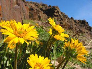 111286_desert_flower