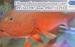 Giá cá mú đỏ-đen-biển-nghệ-sao xanh bao nhiêu tiền 1kg tại TpHCM