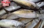 Cá Bạc Má ở đâu bán tại TpHCM – bao nhiêu tiền 1 kg hiện nay