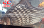 Cá hô bao nhiêu tiền 1kg – địa chỉ mua ở đâu – làm món gì ngon