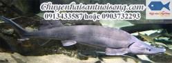 Chuyên bán cá tầm Siberi – nơi mua cá tầm Siberi uy tín chất lượng