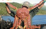 Hải sản ngon – cua Hoàng Đế King Crab – cách luộc cua biển