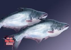 Giá cá basa tươi ngon, nơi bán cá basa
