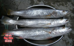 Nơi bán và giá bán cá lanh tươi ngon