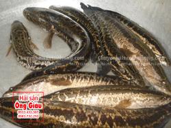 Giá bán cá Lóc Bông thương phẩm hiện nay bao nhiêu 1 kg