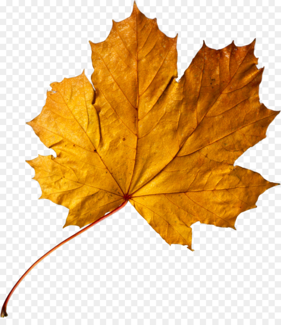 Apricot Farbe Aprikose Herbst Blatt Farbe Maple Leaf Gold Golden Apricot