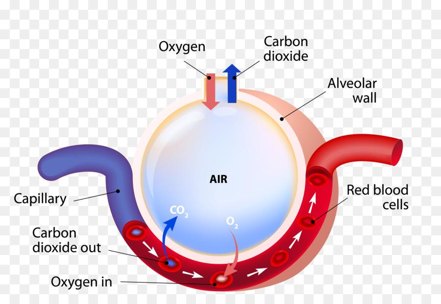 Pulmonary alveolus Gas exchange Lung Capillary Respiration - Vector