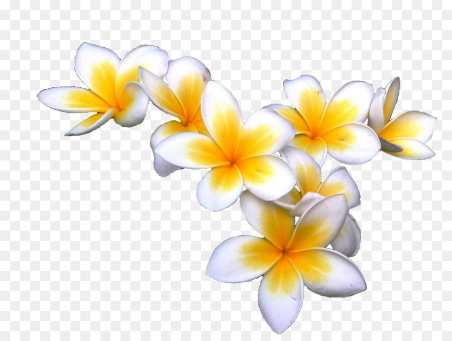 Free Fall Flowers Wallpaper Frangipani Display Resolution Download Clip Art Tropical