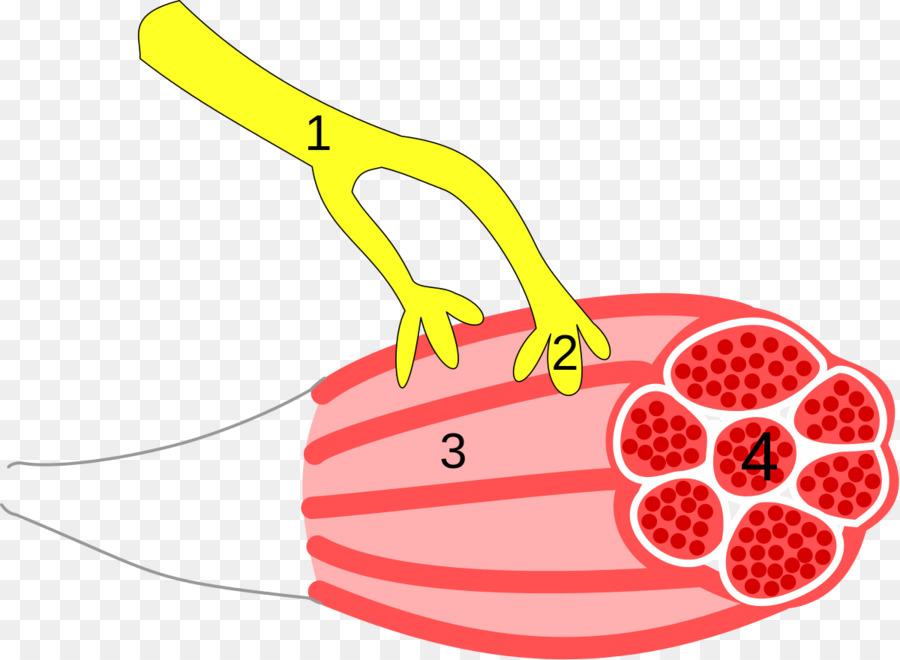 Neuromuscular junction Skeletal muscle Neuromuscular disease Synapse - neuromuscular junction