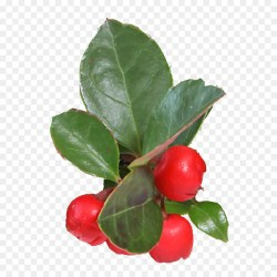 Small Crop Of Barbados Cherry Tree