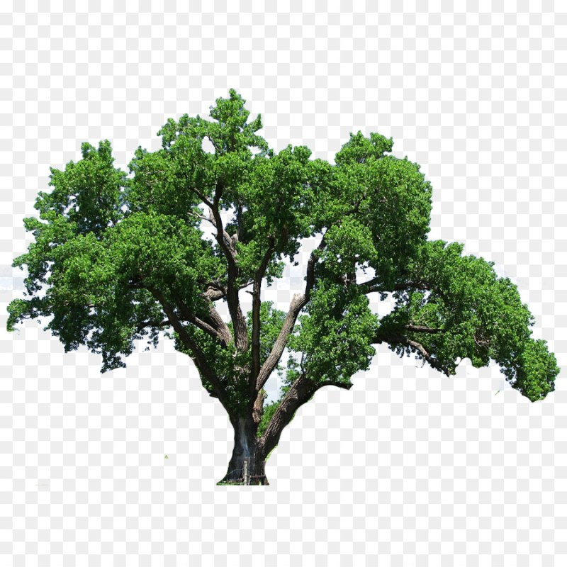 Large Of Southern Live Oak