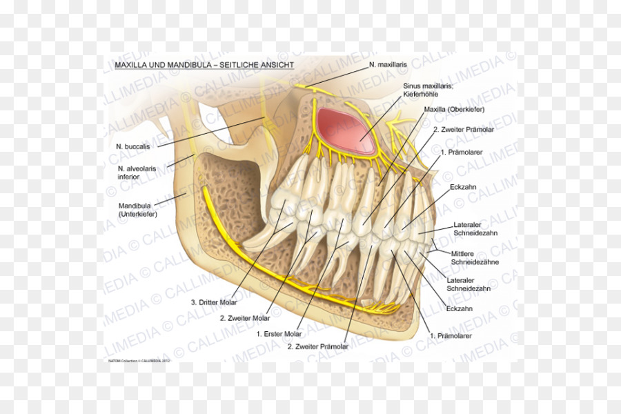 Mandibular nerve Maxilla Mandible Alaleuanluu - others png download