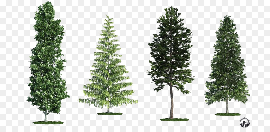 Spruce Fir White poplar Tree Scots pine - tree png download - 800