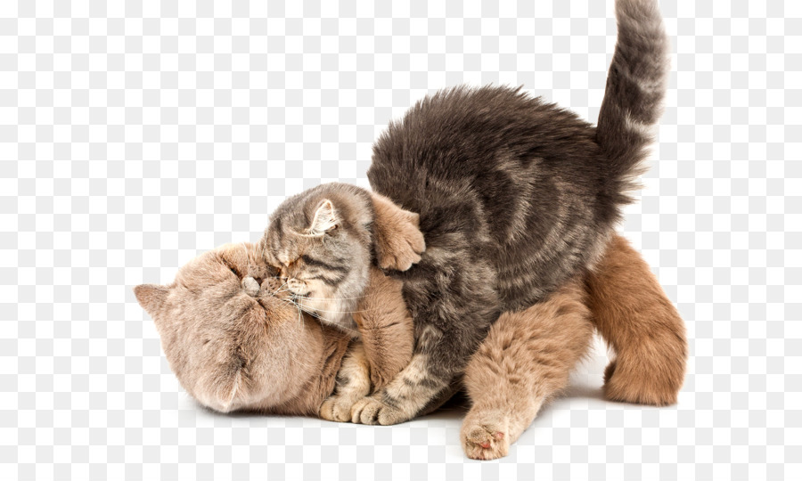 Kitten Stock photography Scottish Fold Whiskers Greeting  Note