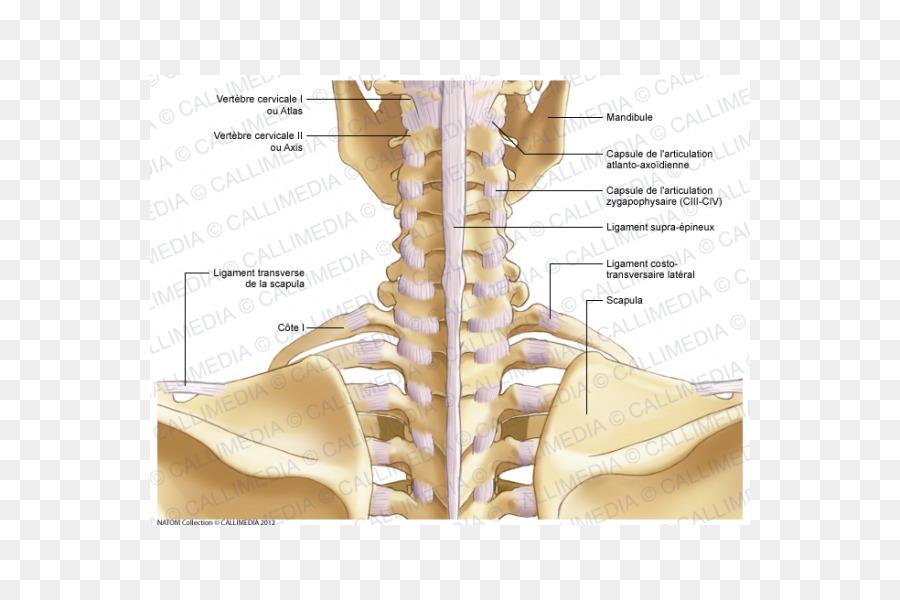 Shoulder Bone Neck Atlanto-occipital joint - cervical vertebra atlas