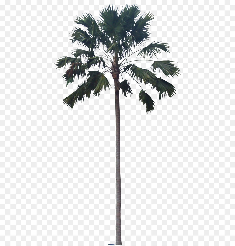 Ikea Palm Tree Asian Palmyra Palm Babassu Palm Trees Plants Ikea Balcony Plants