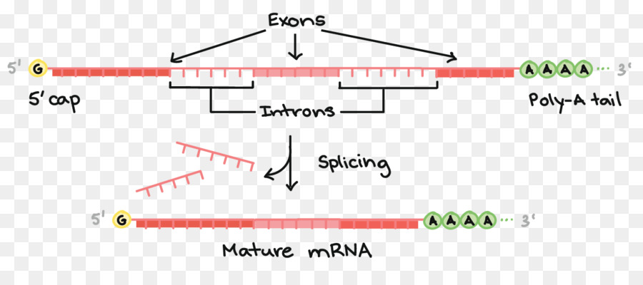 MRNA Processing Methods and Protocols RNA splicing Transcription