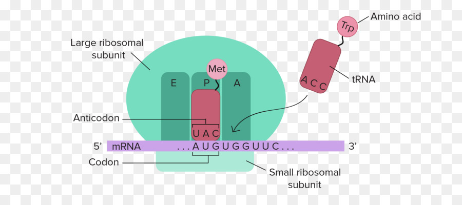 RNA and Protein Synthesis Translation Transcription DNA - png