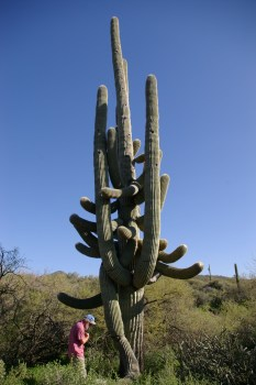 monster saguaro