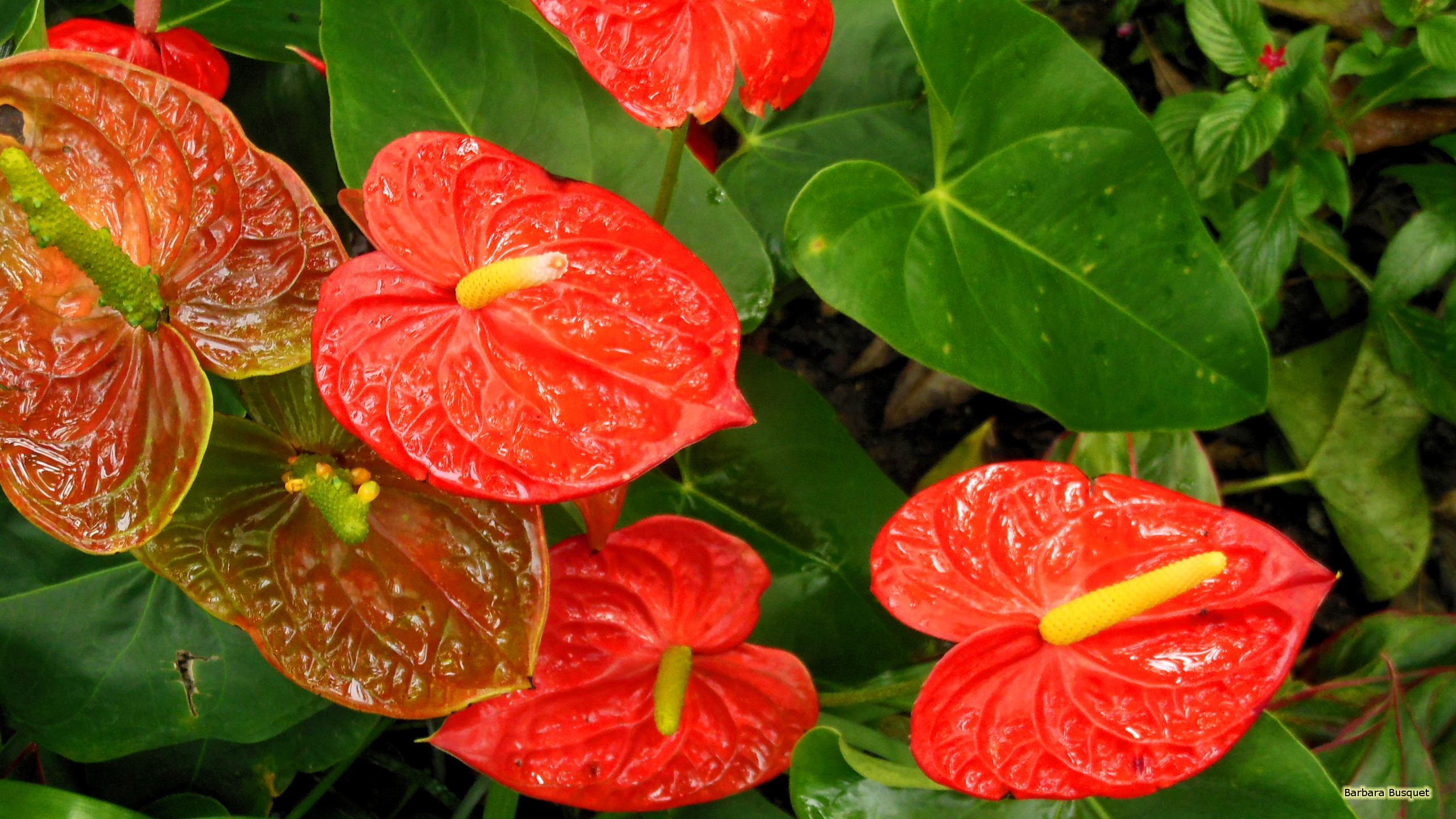Abstract Fall Colors Wallpaper Anthurium Or Flamingo Flower Barbaras Hd Wallpapers