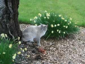 Cat and daffodils