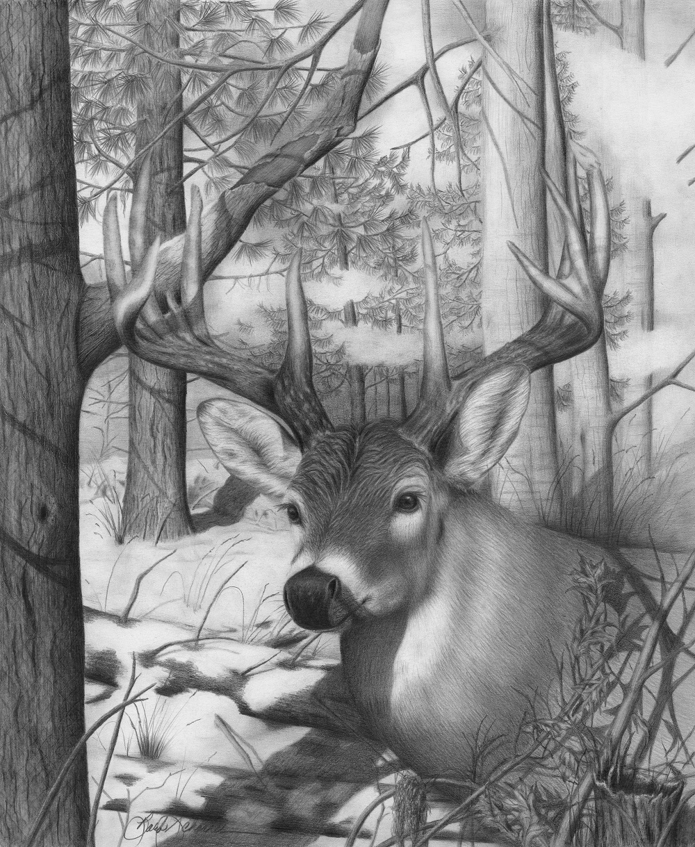 pencil drawings of deer