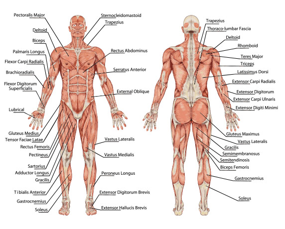 Class theme Anatomical Position in Yoga Poses - Bare Bones YogaBare